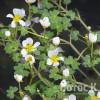 Лютик водный (Ranunculus aquatilis)