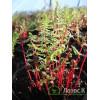 Кочедыжник женский Lady in Red (Athyrium f.-f. Lady in Red)