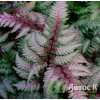 Кочедыжник ниппонский Red Beauty (Athyrium niponicum Red Beauty)