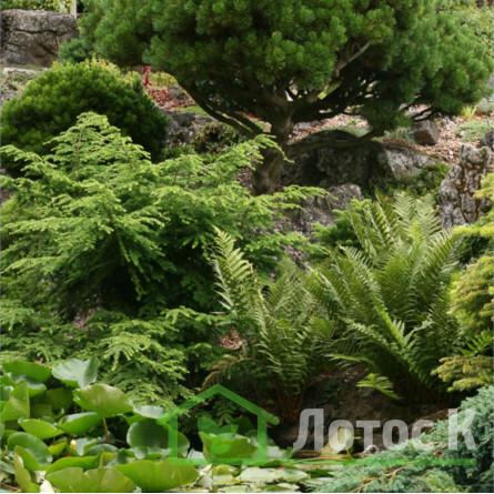 Щитовник мужской (Dryopteris filix-mas)