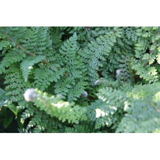 Многорядник щетинковый 'Dahlem' (Polystichum set. 'Dahlem')