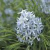 Амсония Хабричта (Amsonia hubrichtii)