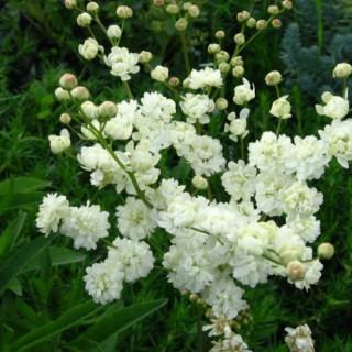 Лабазник обыкновенный 'Plena' (Filipendula vulgaris 'Plena')