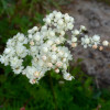 "Лабазник обыкновенный ""Plena"" (Filipendula vulgaris ""Plena"")"
