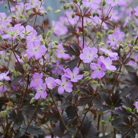 "Герань пятнистая ""Elizabeth Ann"" (Geranium macul ""Elisabeth Ann"")"