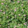 """Герань оксфордская """"Southcombe double"""" (Geranium ox. """"Southcombe Double"""")"""