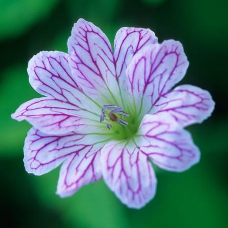 Герань Изменчивая (Geranium versicolor)
