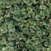 Будра плющевидная (Glechoma hederacea 'Variegata')