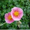 Солнцесвет  'Wisley pink' (Helianthemum 'Wisley Pink')