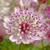 """Астранция """"Sparkling stars pink"""" (Astrantia maj. """"Sparkling Stars Pink"""")"""