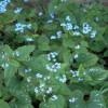 Бруннера крупнолистная Langtrees (Brunnera macr. Langtrees)