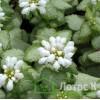 """Яснотка """"White Nancy"""" (Lamium mac. """"White Nancy"""")"""