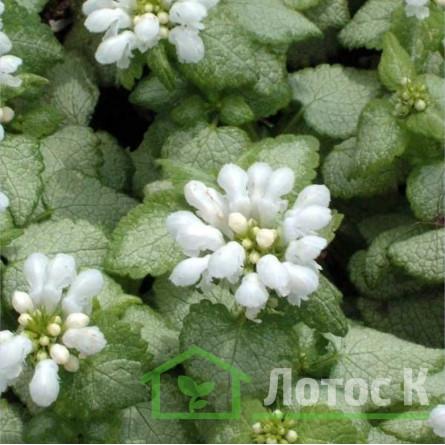 Яснотка 'White Nancy' (Lamium mac. 'White Nancy')