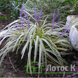 Лириопе 'Silvery sunproof' (Liriope spicata 'Silvery sunproof')