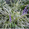 "Лириопе ""Silvery support"" (Liriope spicata ""Silvery Sunproof"")"
