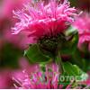 "Monarda  'Cranberry Lace' (Монарда гибридная ""Cranberry Lace"")"