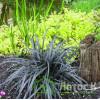 "Офиопогон плоскострелый ""Niger"" (Ophiopogon planiscapus ""Niger"")"