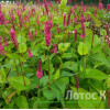 "Persicaria ampl. 'Fat Domino' (Горец свечевидный ""Fat Domino"")"
