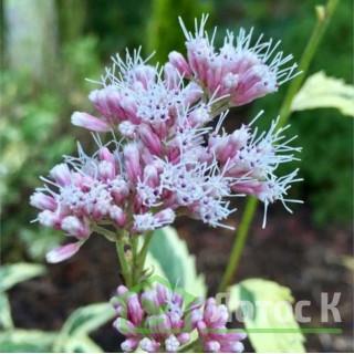 Посконник 'Pink Frost' (Eupatorium fortunei 'Pink Frost')