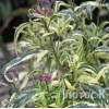 "Посконник ""Рink frost"" (Eupatorium fortunei  'Pink Frost' )"
