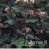 """Eupatorium rugosum 'Chocolate'  (""Посконник Морщинистый ""Chocolate"")"