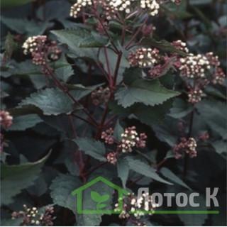 Посконник морщинистый 'Chocolate' (Eupatorium rugosum 'Chocolate')