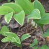 """Купена серповидная вариегатная (Polygonatum falcatum """"Variegatum"""")"""