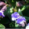 "Медуница гибридная ""Blue Ensign"" (Pulmonaria ang. ""Blue Ensign"")"
