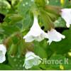 """Медуница лекарственная """"Sissinghurst White"""" (Pulmonaria off """"Sissinghurst White"""")"""