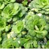 Saxifraga cuneifolia 'Variegata' (Камнеломка клинолистная вариегатная)