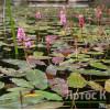 Persicaria amphibia (Горец змеиный )