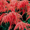 Астильба Red Charm (Astilbe Red Charm)
