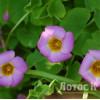Кислиця прижатая (Oxalis depressa)
