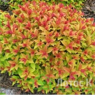 Спирея японская 'Goldflame' (Spiraea japonica 'Goldflame')