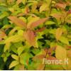 Спирея японская Goldflame (Spiraea japonica Goldflame)