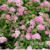 Спирея японская Little princess (Spiraea japonica Little princess)