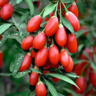 Годжи, Дереза (Lycium barbarum 'Sweet Lifeberry')