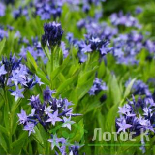 Амсония 'Blue Ice' (Amsonia tabernaemontana 'Blue Ice')
