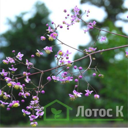 "Василистник ""Рохебруна"" (Thalictrum ""rochebrunianum"")"