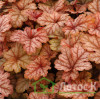 Гейхерелла 'Honey Rose' (Heucherella 'Honey Rose')