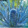 "Eryngium Blue Jackpot (Синеголовник ""Blue Jackpot"" )"