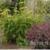 "Echinacea 'Green Jewel' (Эхинацея ""Green Jewel')"