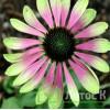 "Echinacea 'Green Envy' (Эхинацея ""Green Envy')"