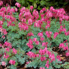 "Дицентра 'Burning Hearts' (Dicentra ""Burning Hearts"" )"