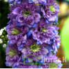 "Delphinium  'Blueberry Pie' (Дельфиниум "" Blueberry Pie "")"