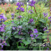 Clematis China Purple