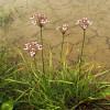 Сусак зонтичний (Butomus umbellatus)