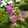 Герань 'Bevan's variety' (Geranium macr. 'Bevan's Variety')