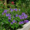 Герань великолепная 'Rosemoor' (Geranium magnificum 'Rosemore')