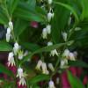 Диспоропсис Перна (Disporopsis pernyi)